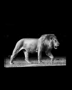 Tavla Canvas 75x100 Walking Lion