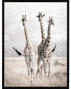 Poster 30x40 Nature Giraffes
