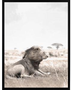 Poster 30x40 Nature Lion