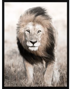 Poster 50x70 Nature Lion Face (planpackad)