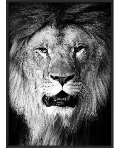 Poster 30x40 B&W Lion (planpackad)
