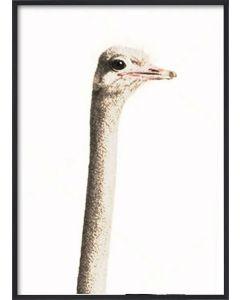 Poster 30x40 African Ostrich Head (planpackad)