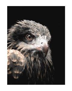 Poster 50x70 Black Eagle (planpackad)