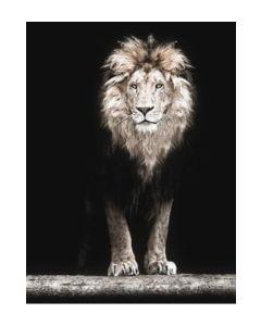 Poster 50x70 Black Lion (planpackad)