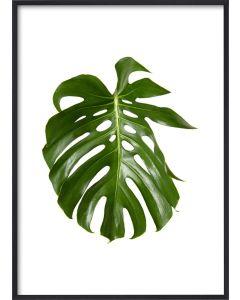 Poster 50x70 Green Monstrera (Planpackad)